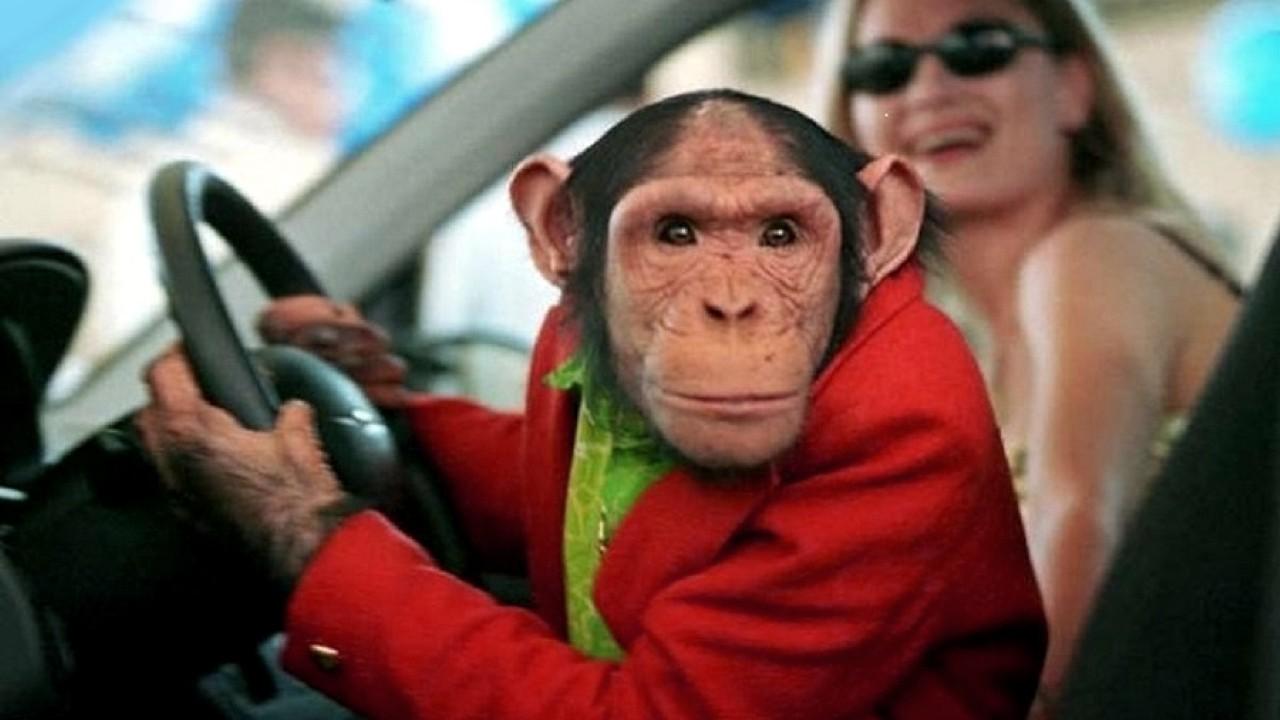 картинка обезьяны в машине как интересно