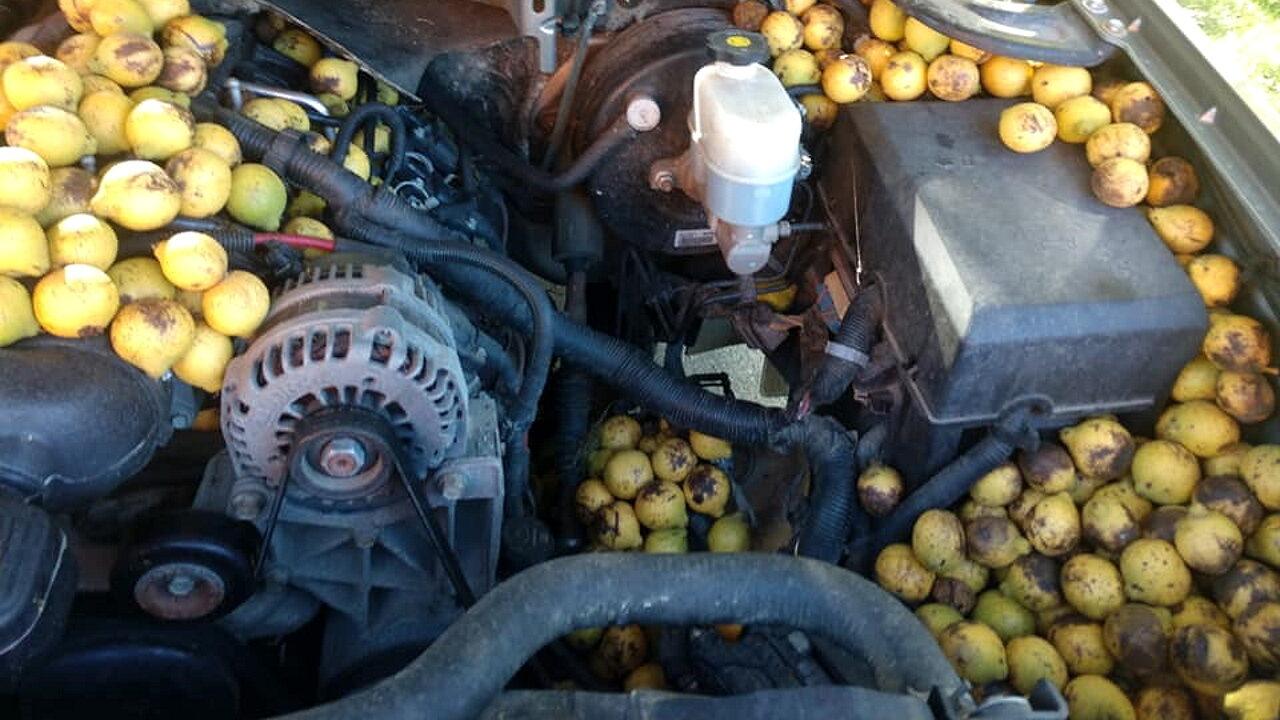 Белка спрятала под капотом автомобиля семь вёдер грецких орехов