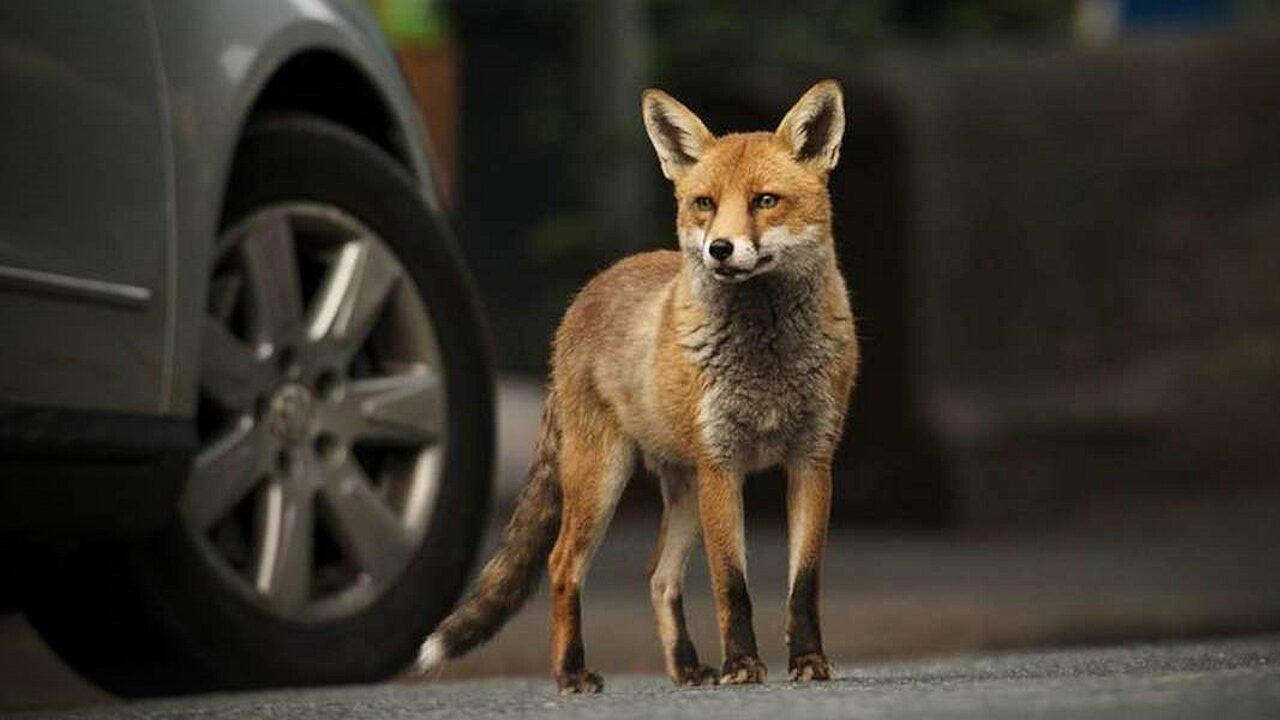 В Великобритании лисы повредили десятки автомобилей