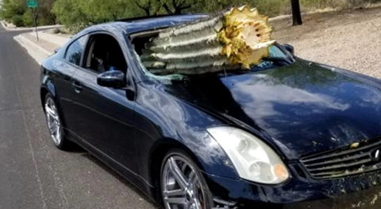 Кактус наказал водителя Infiniti